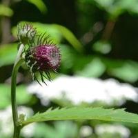 野幌自然休養林に行って来ました -1/3- (平成29年06月17日)。