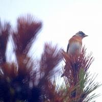 10/23探鳥記録写真-2(芦屋町の鳥たち:アトリ、ジョウビタキ♂、♀、ホオジロ)