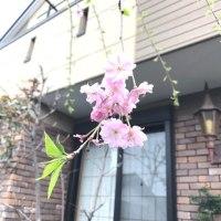自宅で花見