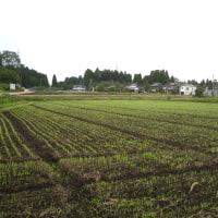麦の芽生え