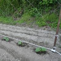 インゲン豆の苗を植えました