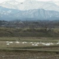 昨日は白鳥を見ました。二度目の出会いです。