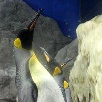 王様ペンギン婚活期