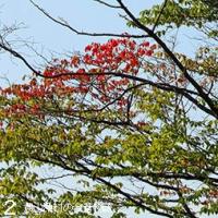 梅雨の紅葉