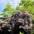 羽衣ジャスミンの花 Jasminum polyanthum