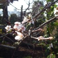 「フユザクラ(冬桜)」