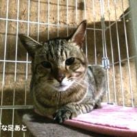 [迷い猫]キジ/成猫