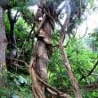 樹木ウォッチング冬から夏へ231ツルウメモドキ4