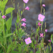 【京都府立植物園】第1回帰化植物展開催のお知らせ(2017年8月4日〜13日)