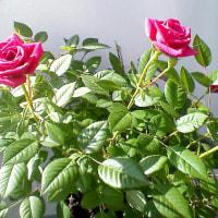 ミニ薔薇が