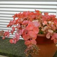 我家の紅葉
