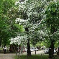 学びの森を散策・なんじゃもんじゃは花盛り