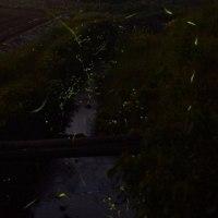 そろそろ蛍が見られるかな? 堂々川、竹田狭間川ではホタルが舞っているらしい