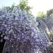 藤の花見に行きました。