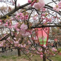 大阪 造幣局桜の通り抜け