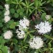 【大雪山国立公園・旭岳情報】散策路の良い香り