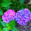 690.紫陽花