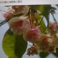 ウコン桜?