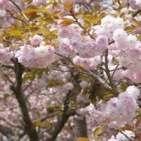 170419 高島易断、4月は運気低迷、思考力低下、争論注意!久光の八重桜、上高場の藤チェック!