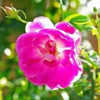 [#3501] 12月,1月に撮影したマクロ写真(11)バラ(ピンク系)