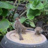 雀のひなが餌場にやってきましたー雀はるさいがよく見ると可愛いです