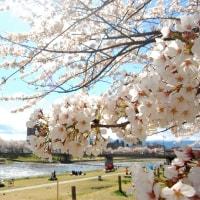 桜sakura.春の川辺に。
