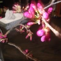 桜に思う。