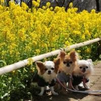 菜の花畑を散策♪