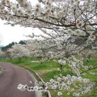 梅林公園で初めての観梅会=3月23日