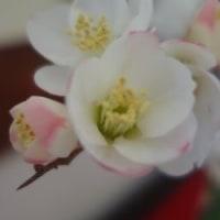 春一番・・・梅とボケの開花。 そして 『子供のように神の国を受け入れる人でなければ、決してそこに入ることはできない。』