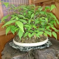 盆栽・欅の巻
