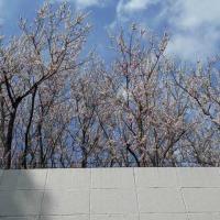 桜が満開です 鉄条網付きの塀の向こうですが・・