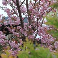 シベリア桜