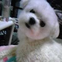愛犬viviが逝った