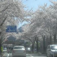 観桜の次は?・・・刈田神社詣り