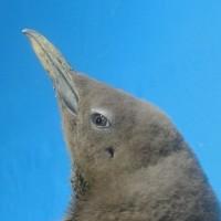 ペンギンの耳