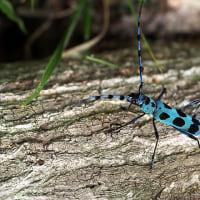 ルリボシカミキリ その2  ぐんま昆虫の森