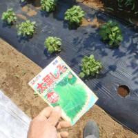 サツマイモ第一弾苗の植え付け