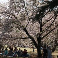 マッキーの『四季を楽しむ』: 今年の新宿御苑の桜