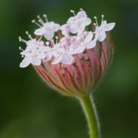「ディディスカス・ピンクレース 」開花しました。