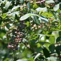 Blueberry garden �粰��Ŧ��������