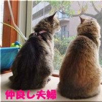 チンチラゴールデン成猫のメス