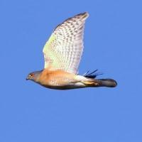 2016.10.28(金)の日誌(秋の鷹渡り#16-16-02:ツミ♂成鳥&サシバの飛翔)