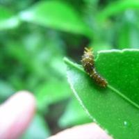 アゲハの幼虫観察日記。少し心配