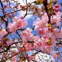 東寺の河津桜とメジロの吸蜜