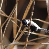 ●湿地にて(ヤマシギ、アリスイ、シジュウカラ、ツグミ、コジュケイ)