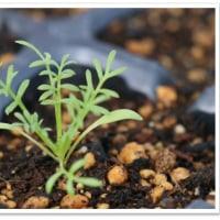 種蒔き苗の移植 。。。備忘録 ٩(✿╹◡╹✿)۶