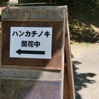 百合が原公園のハンカチの木