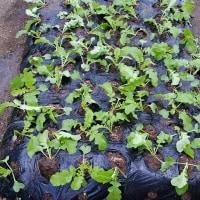 <ツボミ菜>植え付けました。