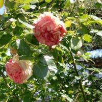 ピンクのバラがきれい!!